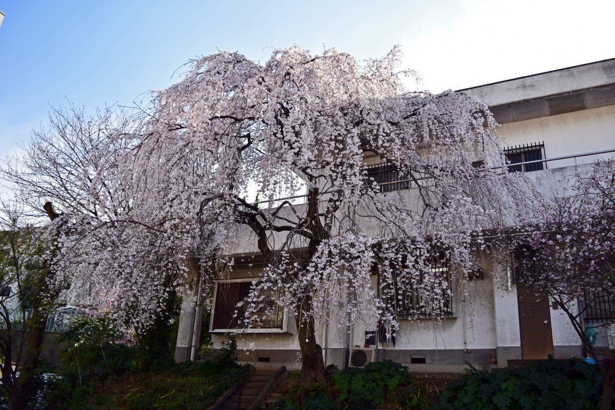 桜2015①前野_c0252688_22444581.jpg