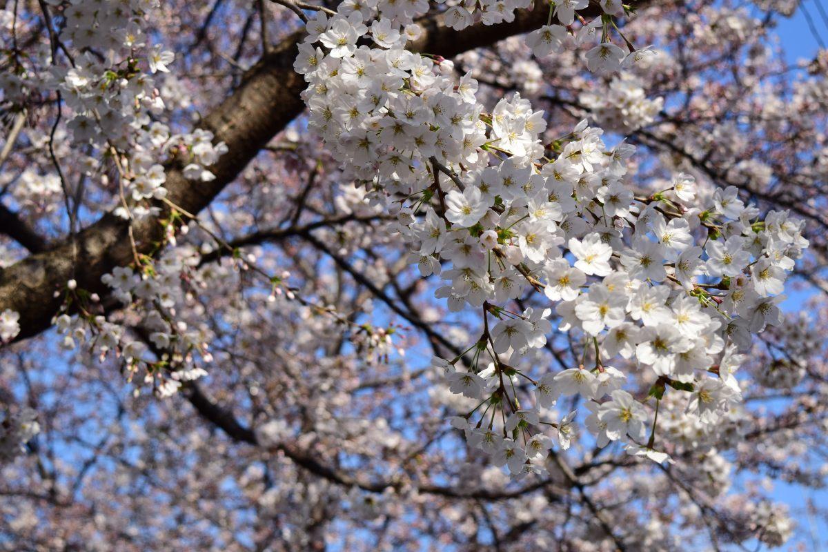 桜2015①前野_c0252688_22451330.jpg