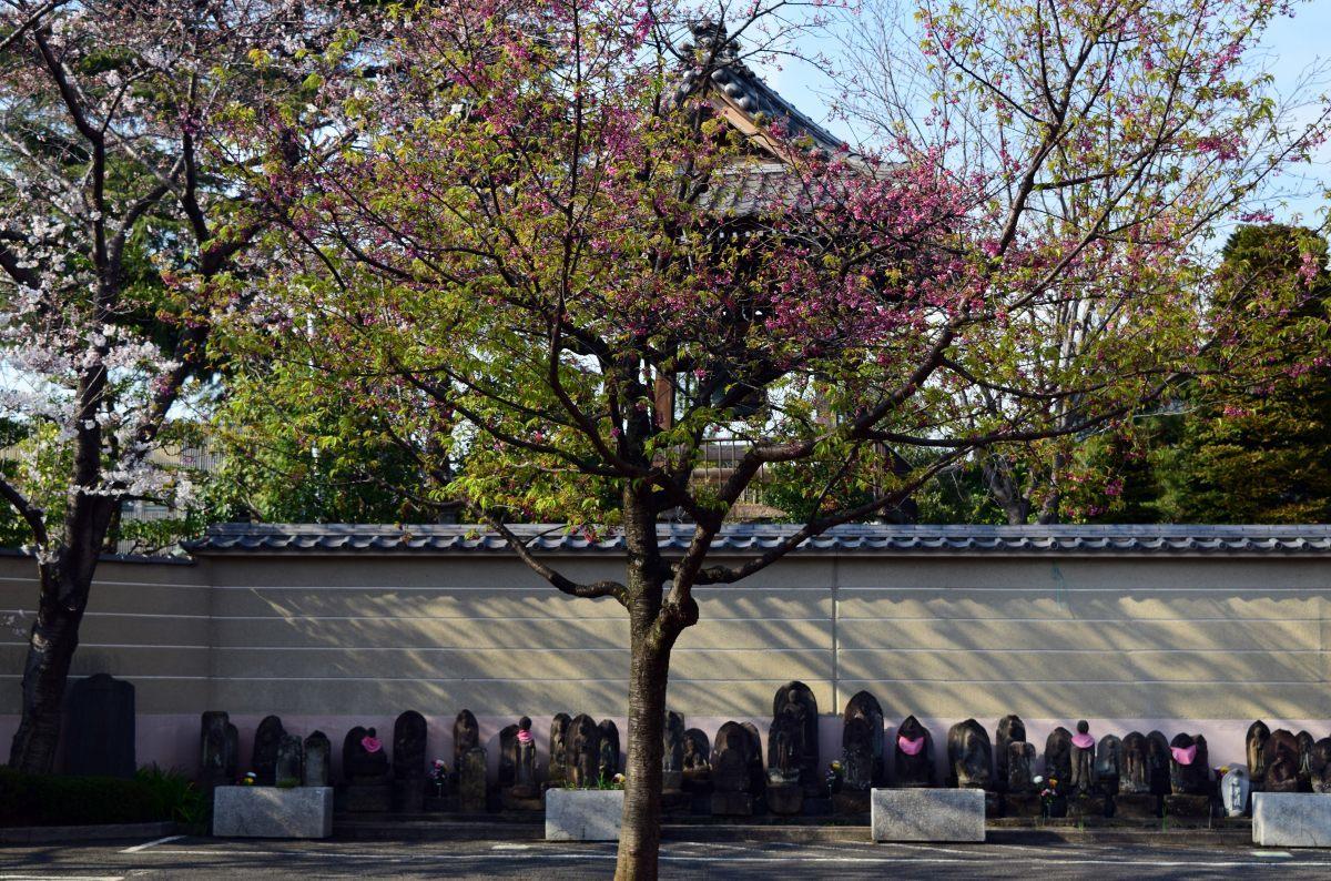 桜2015①前野_c0252688_22453116.jpg
