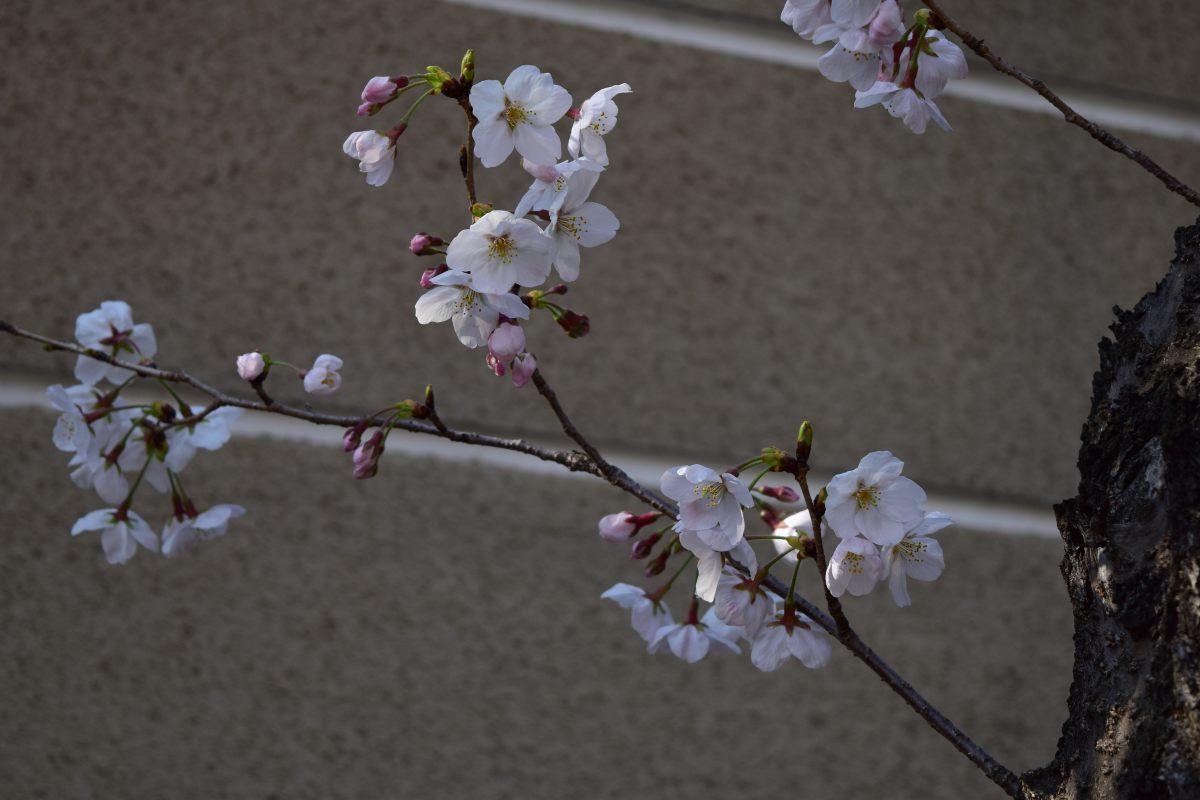 桜2015①前野_c0252688_22460629.jpg