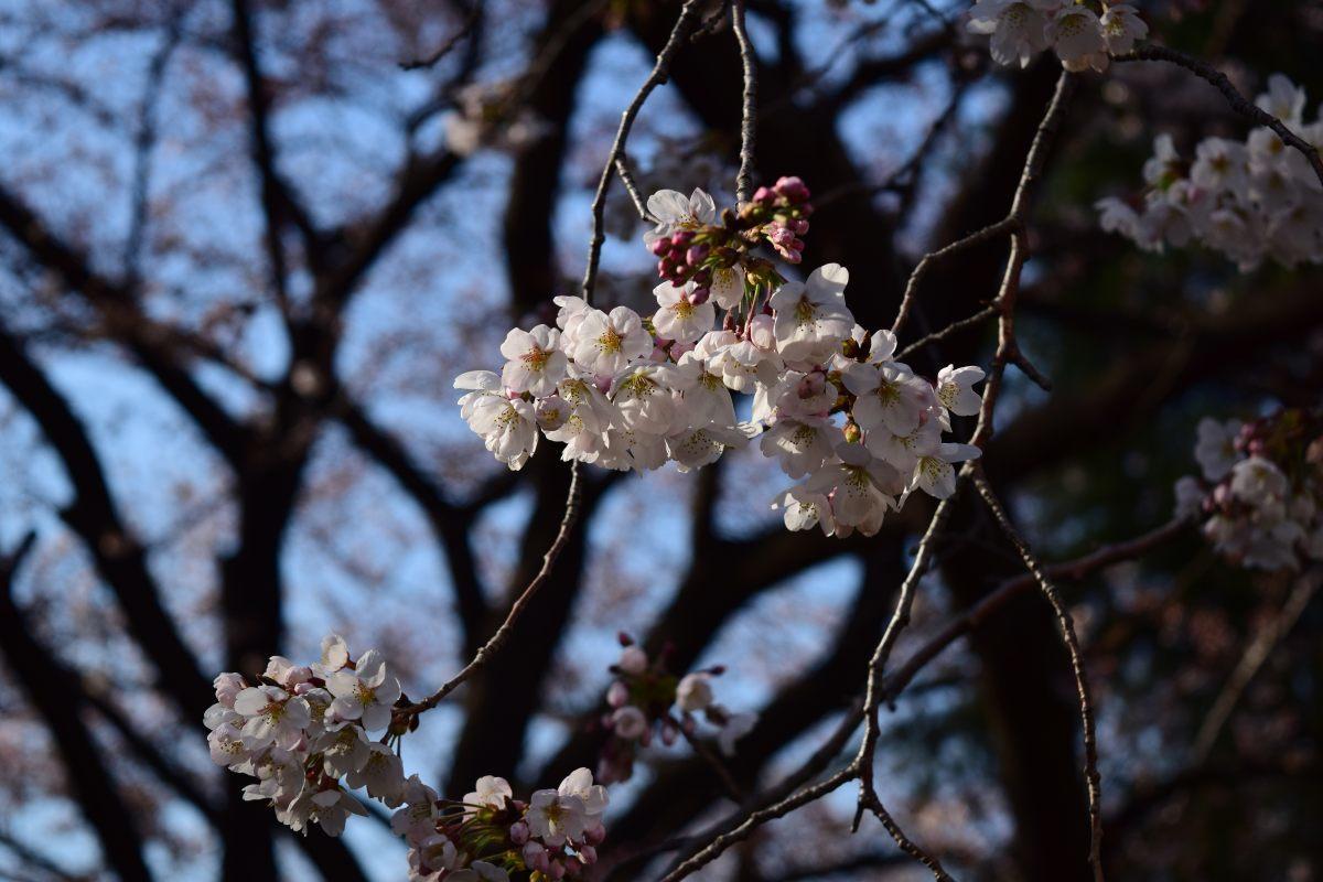 桜2015①前野_c0252688_22465824.jpg