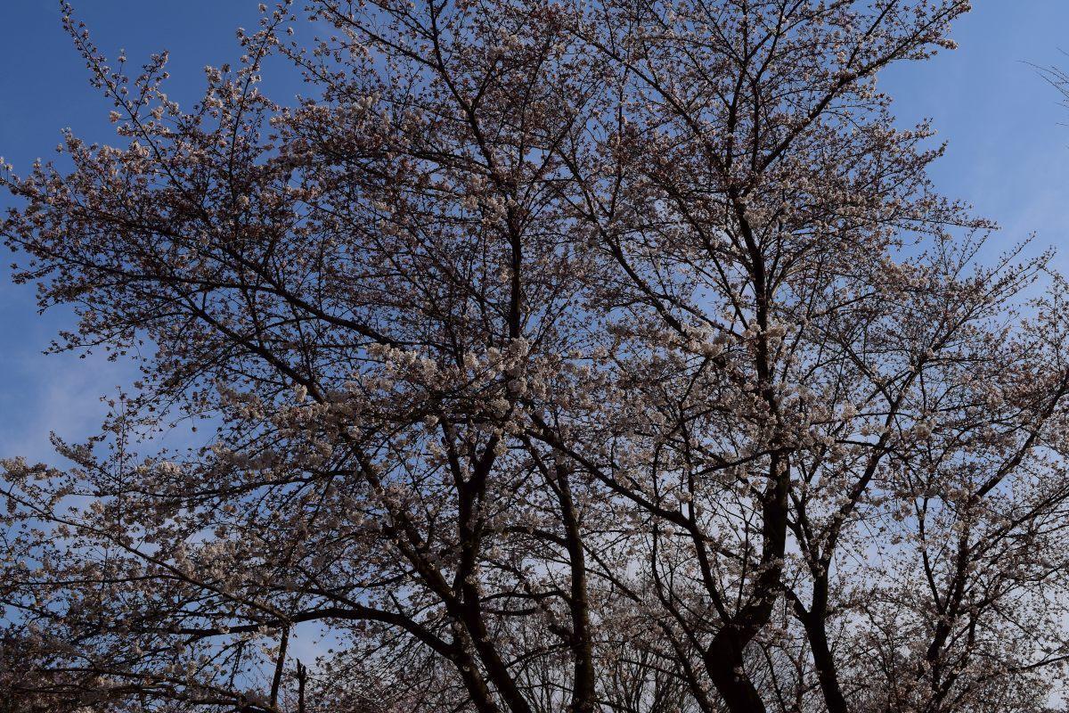 桜2015①前野_c0252688_22572024.jpg