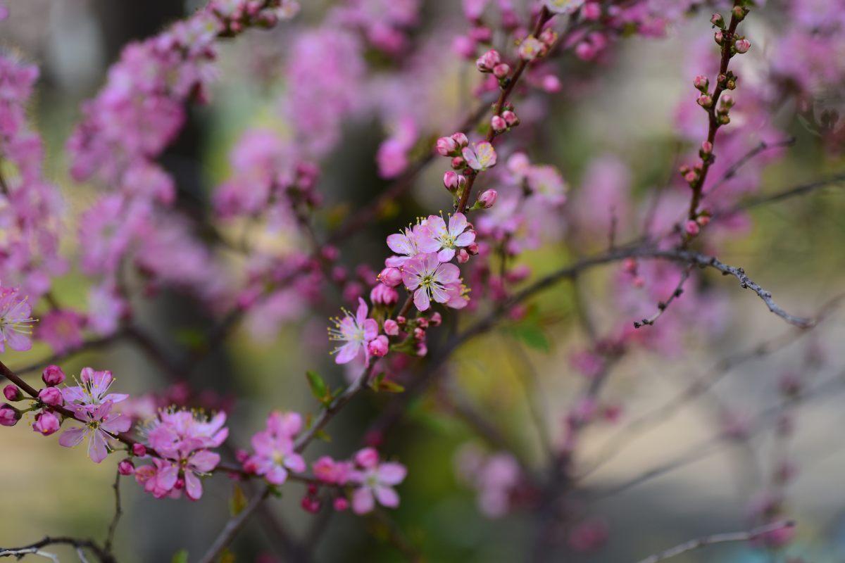 桜2015①前野_c0252688_23174416.jpg