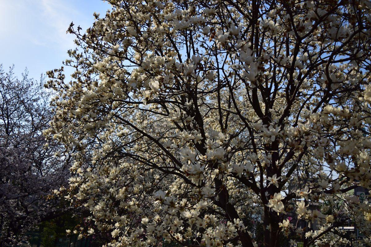 桜2015①前野_c0252688_23192813.jpg