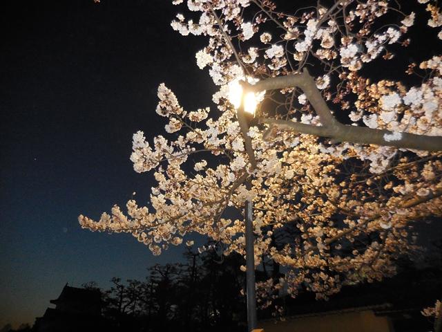 名城公園夜桜_d0251191_14292215.jpg