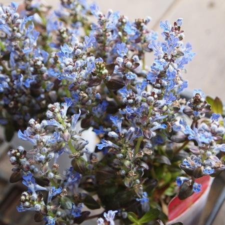 早春の寄せ植えにぴったりのアジュガ_a0292194_20304535.jpg