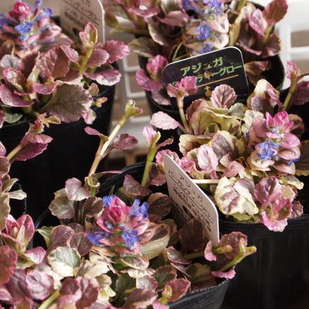 早春の寄せ植えにぴったりのアジュガ_a0292194_2031633.jpg