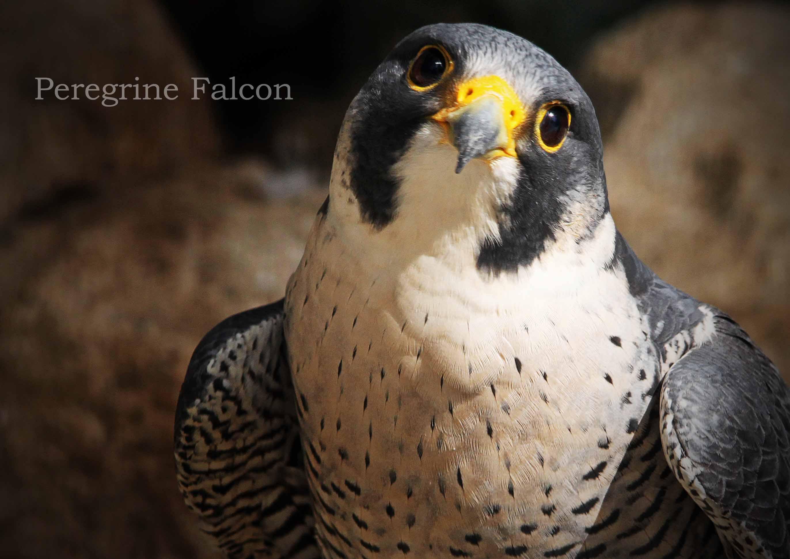ハヤブサ:Peregrine Falcon_b0249597_726172.jpg