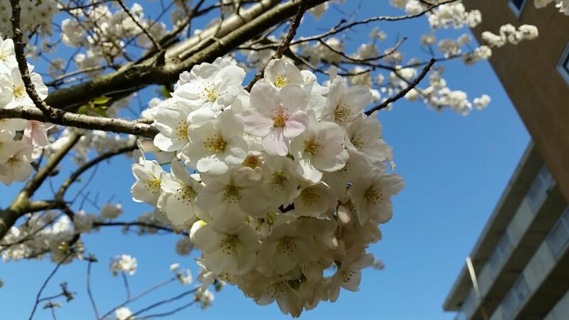 ♡♡♡♡♡さくら ♡桜 ♡櫻♡♡♡♡♡_d0092901_21323684.jpg