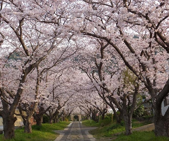 円応寺の桜 2015_f0040201_1646866.jpg