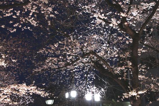 祇園白川夜桜 2015桜たより9_e0048413_21342692.jpg