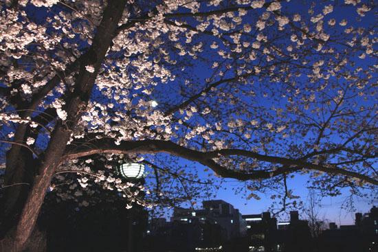 祇園白川夜桜 2015桜たより9_e0048413_2134419.jpg