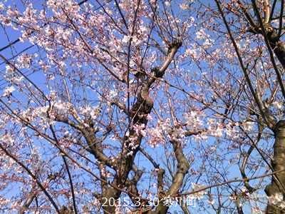 寒川町 桜 開花状況 2015年 春_d0240916_1762639.jpg