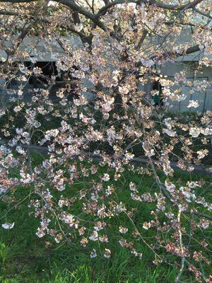 早朝ランニング ㊴ ➕ お花見ラン♪《その3》_b0203925_19494078.jpg