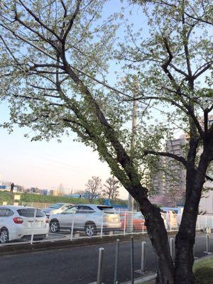 早朝ランニング ㊴ ➕ お花見ラン♪《その3》_b0203925_19494254.jpg