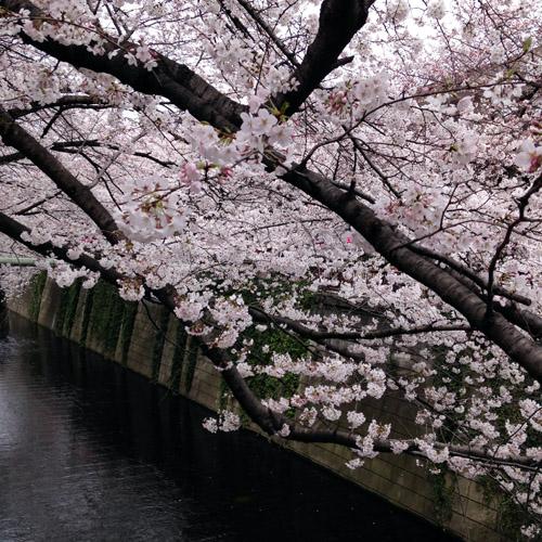 目黒川にお花見に。_a0026127_1484985.jpg