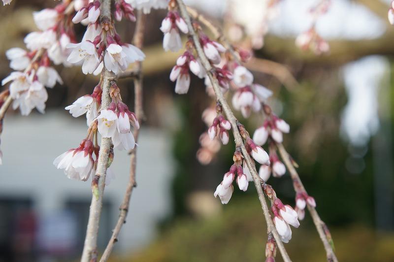枝垂れ桜 2015.3.30_e0046527_7345078.jpg