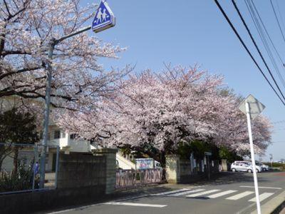 満開の桜_a0050728_11313668.jpg