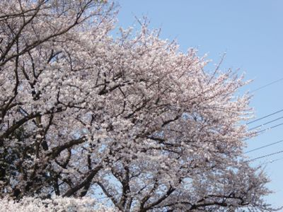 満開の桜_a0050728_11313711.jpg