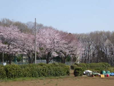 満開の桜_a0050728_11313731.jpg
