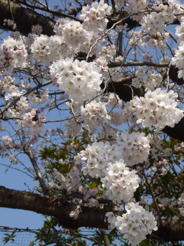 満開の桜_a0050728_11313819.jpg