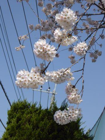 満開の桜_a0050728_11313831.jpg