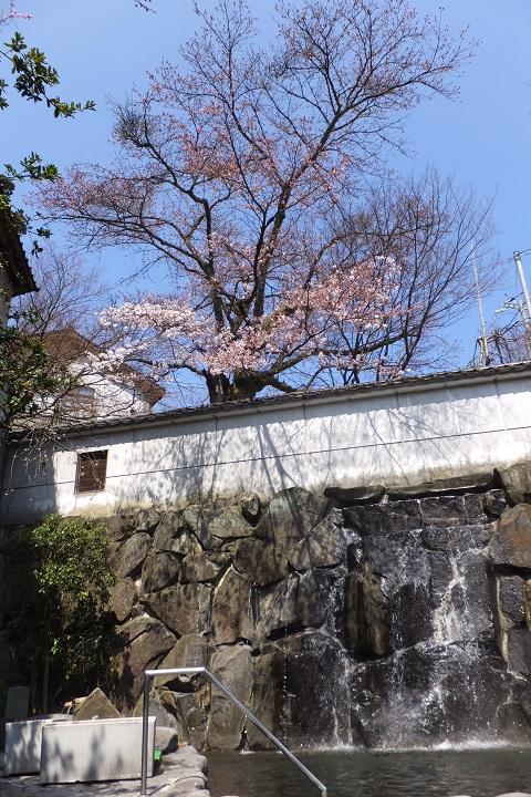 /// 朝野家・露天風呂の桜 3部咲き(3/30現在) 今年は早め!ぜひご入浴ください。///_f0112434_14215053.jpg
