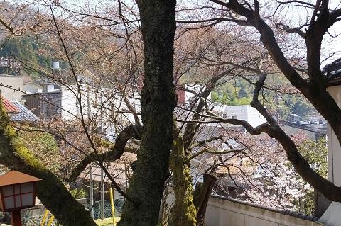 /// 朝野家・露天風呂の桜 3部咲き(3/30現在) 今年は早め!ぜひご入浴ください。///_f0112434_14221164.jpg