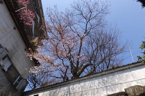/// 朝野家・露天風呂の桜 3部咲き(3/30現在) 今年は早め!ぜひご入浴ください。///_f0112434_14224185.jpg