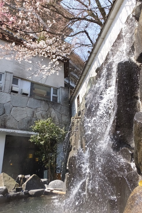 /// 朝野家・露天風呂の桜 3部咲き(3/30現在) 今年は早め!ぜひご入浴ください。///_f0112434_142365.jpg