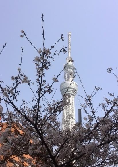 満開の桜🌸とスカイツリー🗼_f0340942_17573206.jpg