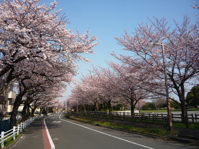 桜満開_a0157156_21341446.jpg
