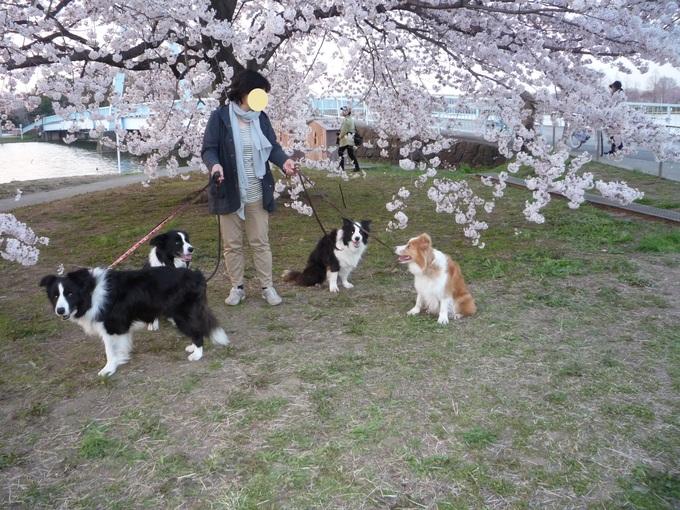 桜満開_a0157156_21353853.jpg