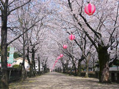 菊池神社、菊池公園の桜photoコレクション 2015_a0254656_2111089.jpg