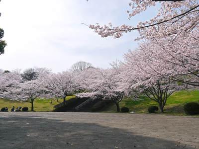 菊池神社、菊池公園の桜photoコレクション 2015_a0254656_211584.jpg
