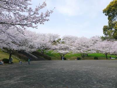 菊池神社、菊池公園の桜photoコレクション 2015_a0254656_21491293.jpg