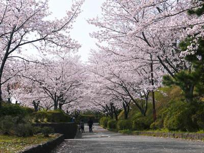 菊池神社、菊池公園の桜photoコレクション 2015_a0254656_21562892.jpg