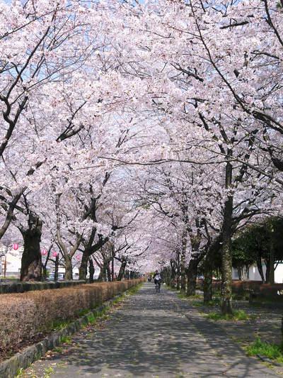 菊池神社、菊池公園の桜photoコレクション 2015_a0254656_2174517.jpg
