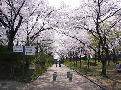 菊池神社、菊池公園の桜photoコレクション 2015_a0254656_2215680.jpg