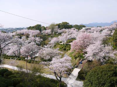菊池神社、菊池公園の桜photoコレクション 2015_a0254656_22225575.jpg