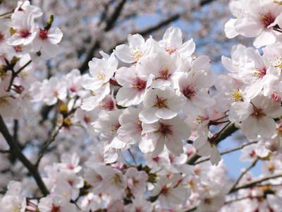 菊池神社、菊池公園の桜photoコレクション 2015_a0254656_22304088.jpg