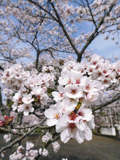 菊池神社、菊池公園の桜photoコレクション 2015_a0254656_22415153.jpg