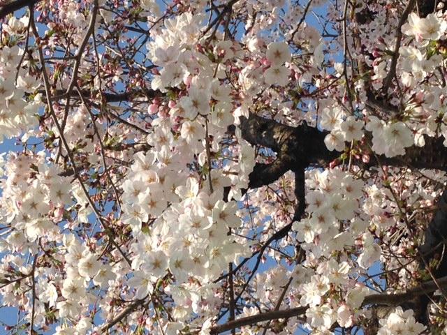 我が家の桜_b0286862_17591326.jpg