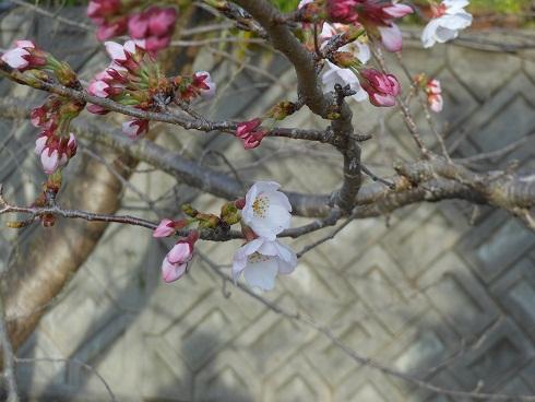 駅の桜が開花しました_e0175370_991329.jpg