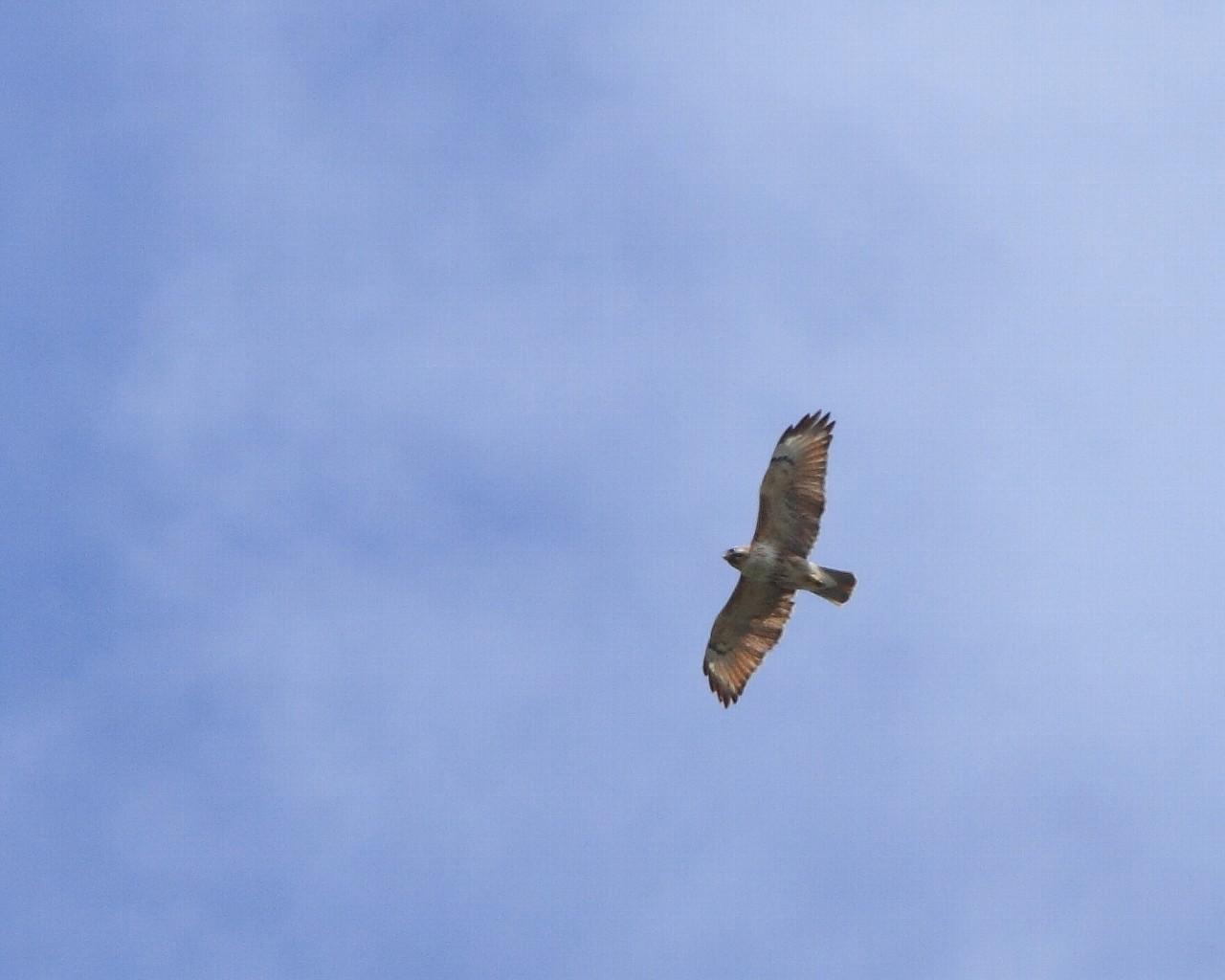 小笠原唯一の猛禽オガサワラノスリ_f0105570_22545283.jpg
