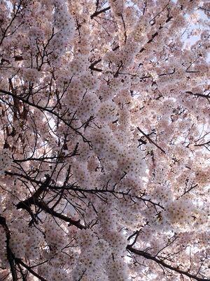 桜咲く_a0001971_234021100.jpg