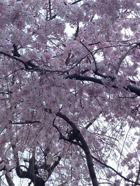 2015.3.30  お花見日和_a0083571_1725988.jpg