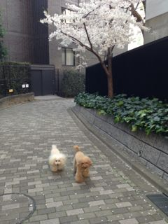 2015.3.30  お花見日和_a0083571_173417.jpg