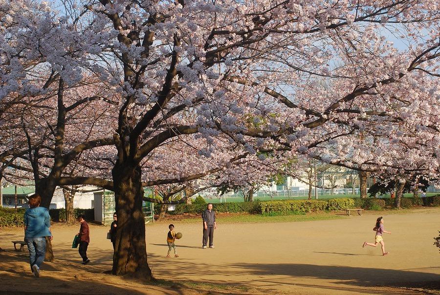 公園の桜_c0187781_21195619.jpg
