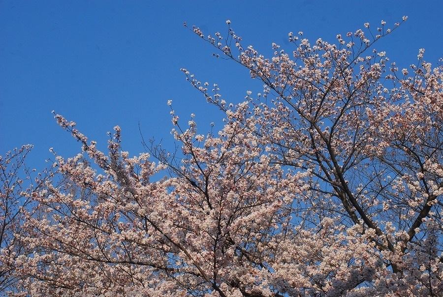 公園の桜_c0187781_21481799.jpg